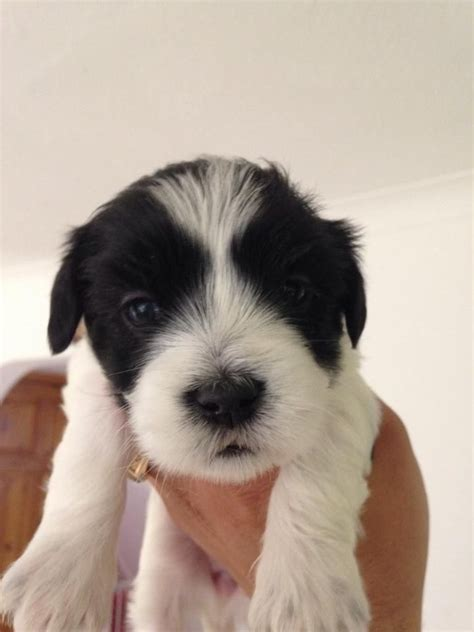 hypoallergenic dogs for sale only 1 left hypoallergenic puppies for sale gillingham kent pets4homes