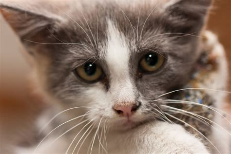 feline interstitial cystitis symptoms causes treatments