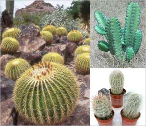 Bienfaits Du Cactus Dans Une Maison by Pa New S Le Cactus