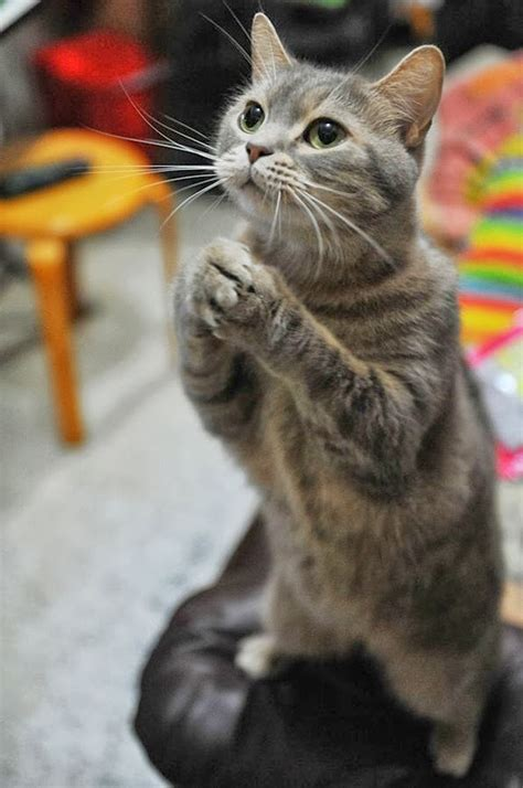 wallpaper bintang kucing gambar binatang binatang terimut wallpapersforfree