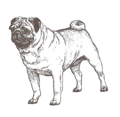 what is the average of a pug tantras pugs