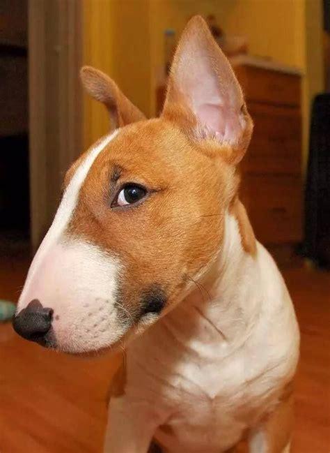 Bull Terrier Bull Terrier The Eye Of The Tiger | lisa s world 12 reasons why you should never own bull