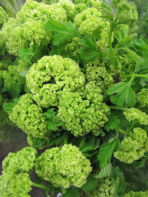 lime green range vibirnum or known as quot snow balls quot colors range from lime