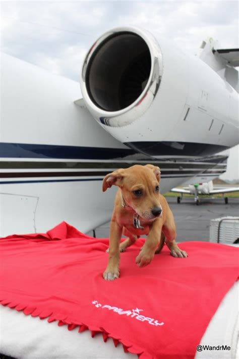 puppy on plane puppies and planes with privatefly wandering aramean