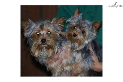 5 lb yorkie 5 pound grown yorkie breeds picture