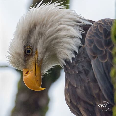 Australian Wedge Tailed Eagle Gives You Some Ideas Of The - meer dan 1000 afbeeldingen flying eagle above the