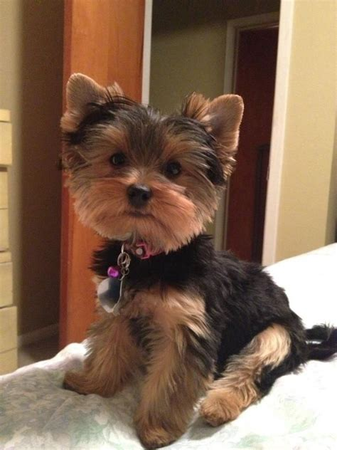 types of yorkie haircuts differnt haircut for yorkies 25 best ideas about yorkie