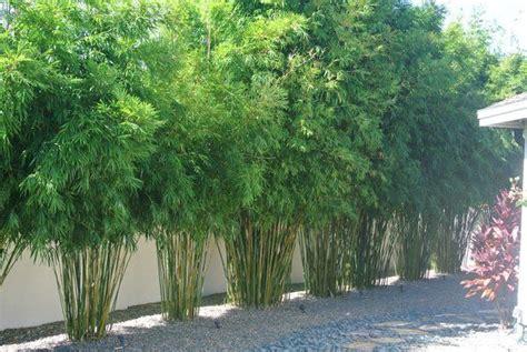 bamboo trees for backyard slender weaver bamboo backyard ideas pinterest side