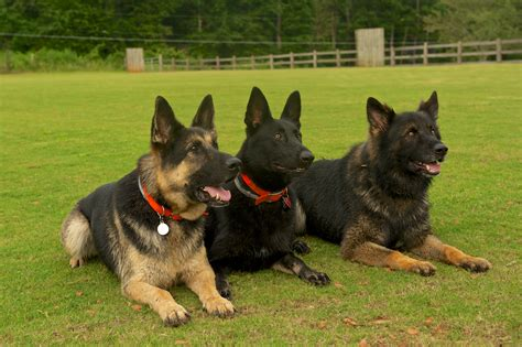 best guard dogs breeds protection dog breeds picture