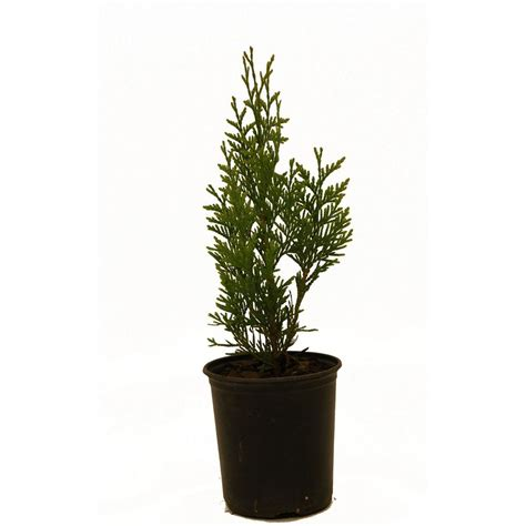 thuja green thugre01g the home depot