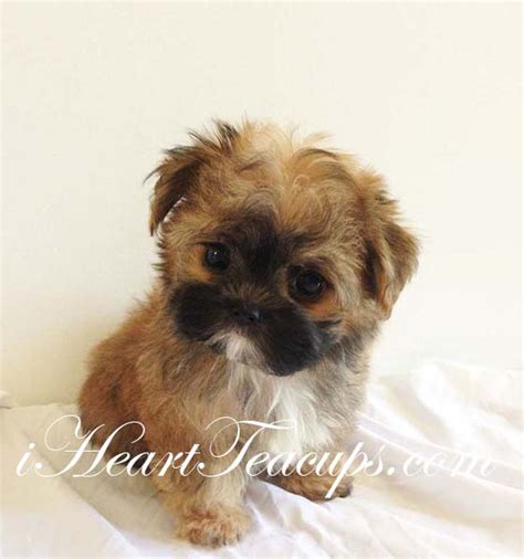 teacup teddy puppies teacup morkie teddy designer puppies 3 to 5 pounds grown breeds picture