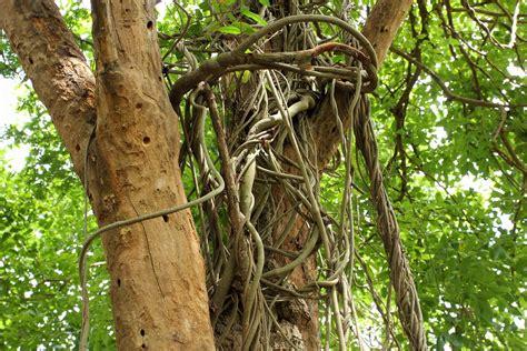 large climbing plants cutting the vine allworship