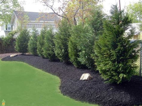 backyard plants and trees leyland cypress tree fast growing evergreens fast