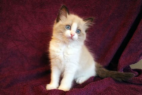 ragdoll of pudsey 3 stunning bred ragdoll kittens pudsey west