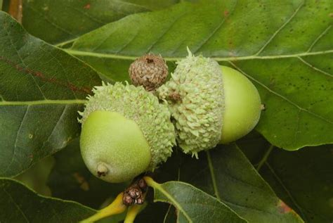 growing oak trees from acorns space for