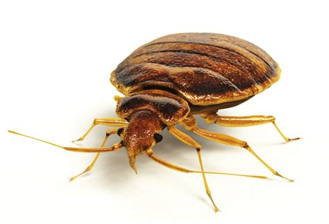 eliminating bed bugs best way to kill bed bugs