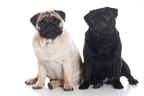 buying pugs buy a pug puppy black pug puppies for sale kellie moyer lincoln ne other