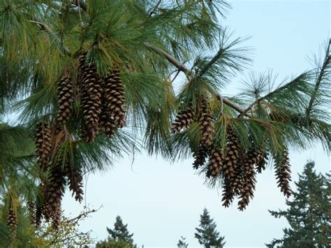 Garden Tree Types - file pinus wallichiana at vandusen botanical garden jpg wikimedia commons