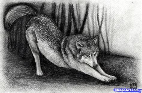 Drawing Wolf by How To Draw A Realistic Wolf Step By Step Realistic