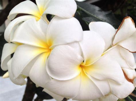 images nature blossom white leaf flower petal