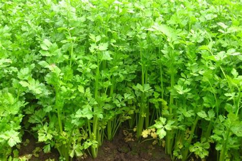 Benih Bibit Herbs Parsley Maica Leaf T1910 leaf celery seed apium graveolens zhong wei horticultural products company top quality plant