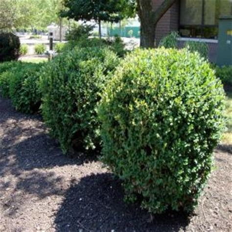 onlineplantcenter 2 gal green mountain boxwood shrub