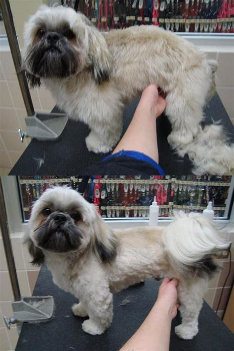 shih tzu bites when grooming grooming shih tzu niko by cirustar on deviantart