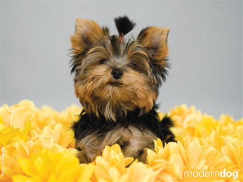 yorkie wallpapers puppies free modern wallpaper modern magazine