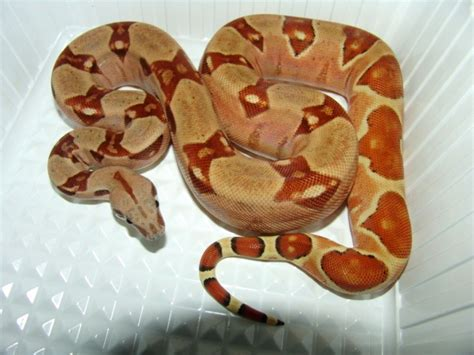 Boa Pastel 1 available www mnreptil cz captive bred reptiles by