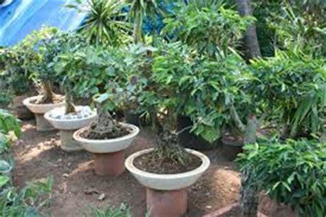 Harga Bibit Ginseng Jawa tanaman hias bagus untuk bonsai unik tanaman bunga hias