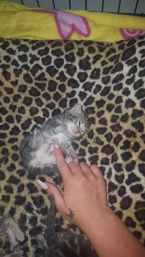 blue kittens for sale blue bengal kittens for sale leeds west