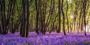 bluebell forest bluebells forest in sussex sussex scenes