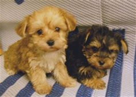 yorkie poo puppies for sale in wv chi poo puppy is so in tea cup animals tea cups teas and