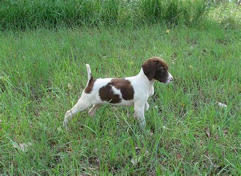german shorthair puppies spur kennels german shorthair pointers german shorthaired pointers in nd