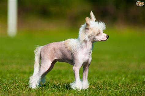 crested puppy crested breed information buying advice photos and facts pets4homes