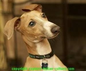 The miniature greyhound: an animal fact file of the