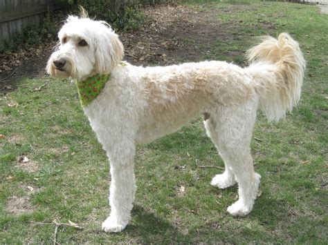 summer cuts golden doodle short haircuts haircuts and shorts on pinterest