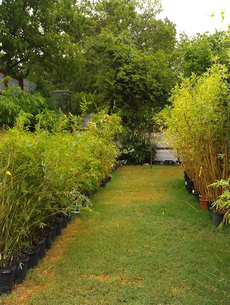trees etc bamboo your privacy live non invasive bamboo for sale in