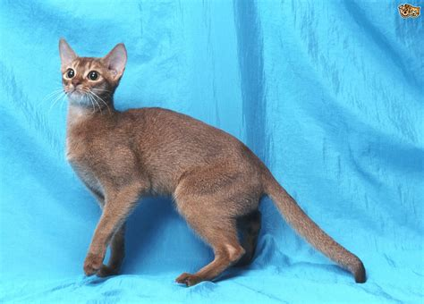 Abyssinian Cat Breed Information, Buying Advice, Photos