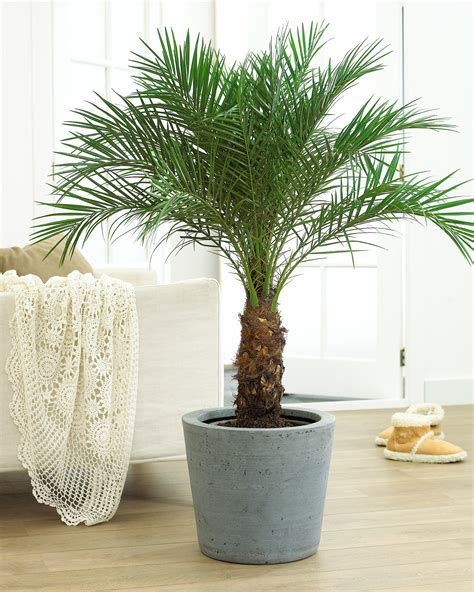 Small Trees For Planters by Palm Trees Big Small And Cold Hardy Fast Growing Trees