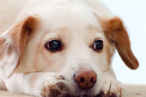 sad puppy sad free stock photo domain pictures