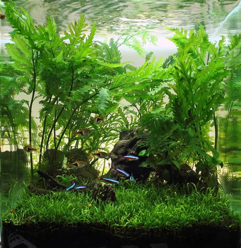 cool aquascapes freshwater fish how the tiniest fish pack the biggest