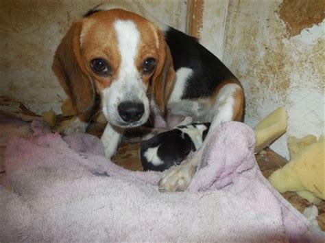 elizabeth pocket beagle puppies for sale pocket beagle for sale aug 15 2014 tiny beagles miniature pocket beagle puppies