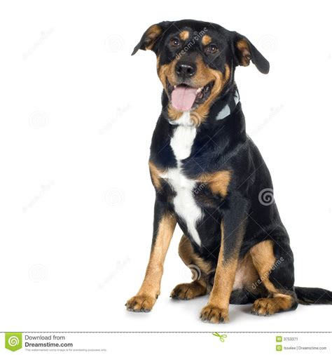 rottweiler beagle mix puppies beagle rottweiler mix picture breeds picture