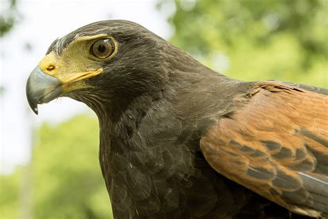 housing hawk paris harris hawk