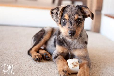 rottweiler australian shepherd mix puppies blue merle australian shepherd mix wish list australian shepherd mix