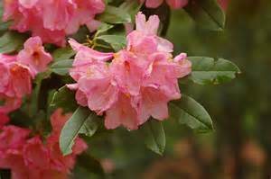 image gallery rhododendron flower