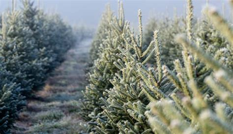 hubbards christmas tree farm tree farms madinbelgrade