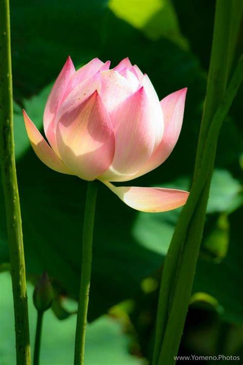 paradise tattoo quebec fleur de lotus jardin botanique de montr 233 al qu 233 bec