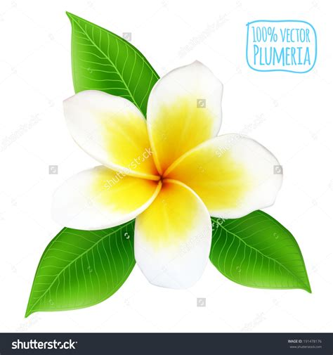 plumeria flower drawing plumeria clipart flower drawing pencil and in color